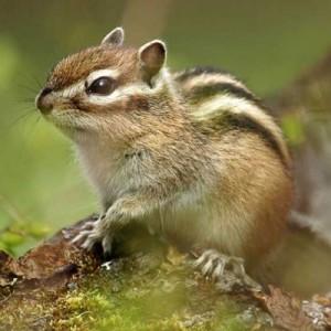 siberian-striped-chipmunk